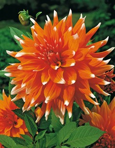 Dahlia Color spectacle 70934