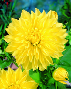 Dahlia Dec kelvin flootlight 72095