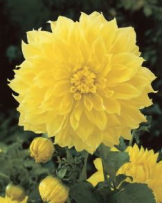 Dahlia Kelvin floodlight_elbo42742 72095