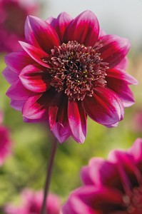 Dahlia Purple puff 73581