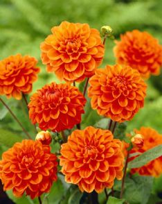 Dahlia Orange nugget_visi07223 75856