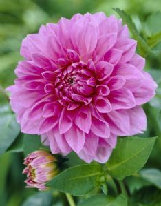 Dahlia Lavender perfection_1 77540