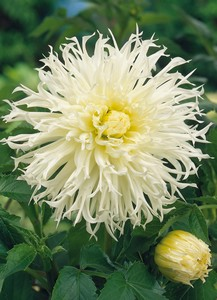 Dahlia Ice crystal 78361
