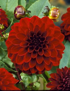 Dahlia Black barbara (night queen) 9702