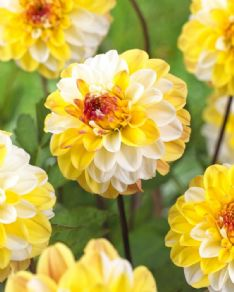 Dahlia Decorative double jill HBM33998