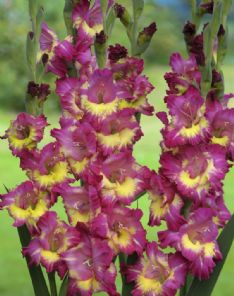 Gladiolus Far west 74685