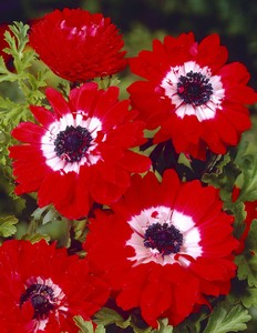 Anemone Coronaria double the governor 76687