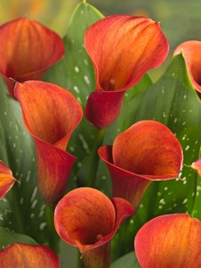 Calla Mozart (captain safari) 16667