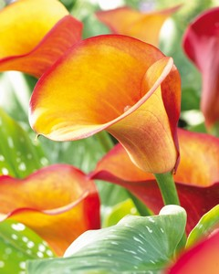 Calla Fire dancer 51556