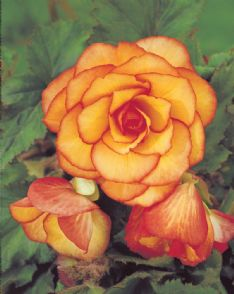 Begonia Picotee yellow-red_elbo42689 HBM3073