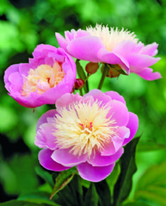 Paeonia Bowl of beauty HBM10797