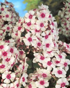 Phlox Paniculata red-white HBM10963