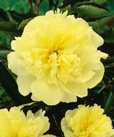 Paeonia Yellow HBM10966