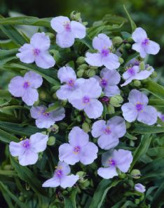 Tradescantia Angel eyes_visi15392 HBM13733