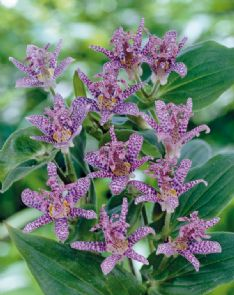 Tricyrtis Purple spotted HBM13736