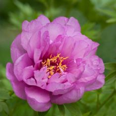 Paeonia Itoh first arrival HBM17135