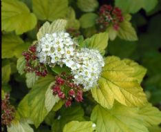 Physocarpus Opulifolius darts gold_elbo12834 HBM17457