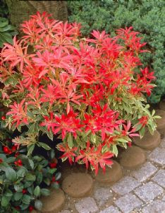 Pieris Flaming silver_elbo06774 HBM17460