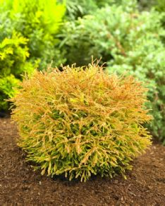 Thuja Occidentalis golden tuffet_visi69610 HBM34076